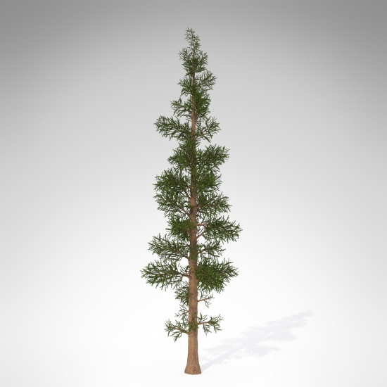 WE02a-subalpine-fir_550x550